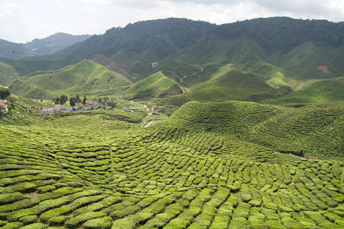 tea plantation at cameron highlands