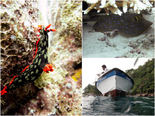 diving at pulau tenggol, nudibranch, blue spotted stingray