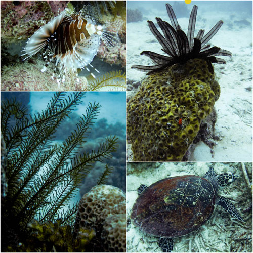 lion fish, seaweed, giant green turtle