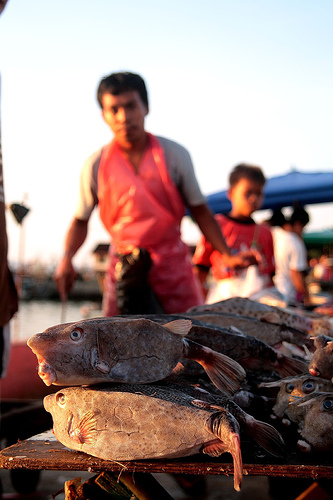 puffer fish, kota kinabalu