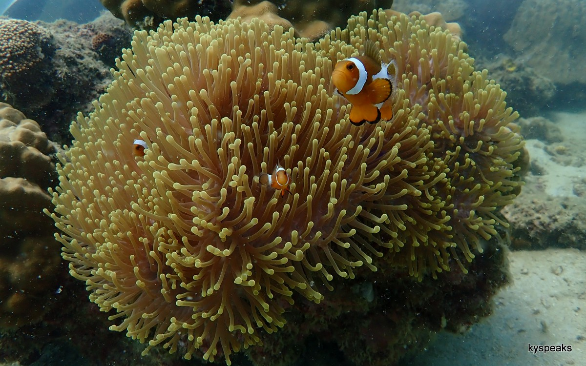 nemo with anemone, always one of my favorite shooting subjects