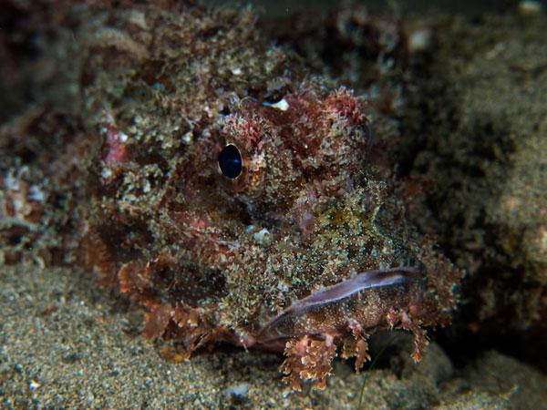 an unsuspecting scorpionfish