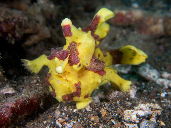 yellow frogfish, Basura