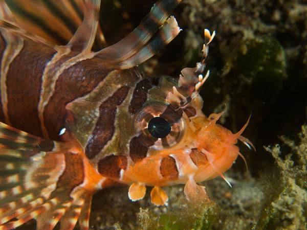 red lionfish, Arthur's Reef
