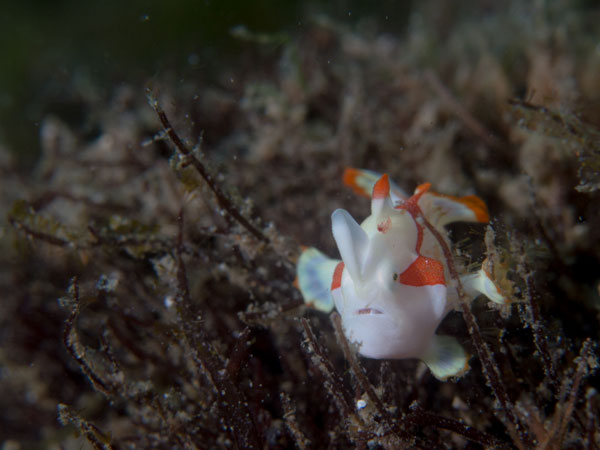 a very tiny clown frogfish