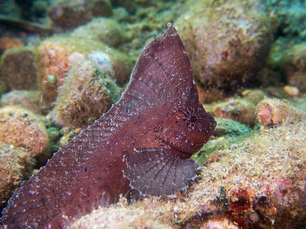 leaf scorpionfish, Mato Point