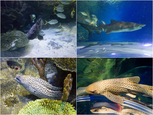 giant grouper, sand tiger shark, moray eel, leopard shark