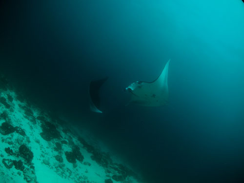 2 mantas in a mating dance