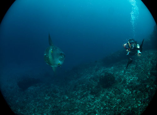 mola mola at Crystal Point, Nusa Penida