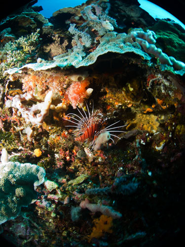 scorpion fish at north coast, nusa penida