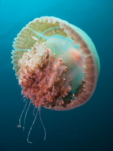 jelly fish, and note the inhabitants within it