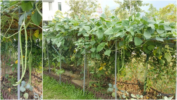 long beans, way too much fruit from one plant
