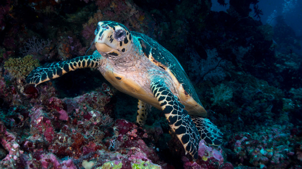 say cheese, Mr. Turtle of Miyaru Kandu dive site
