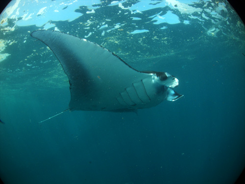 manta ray at nusa penida
