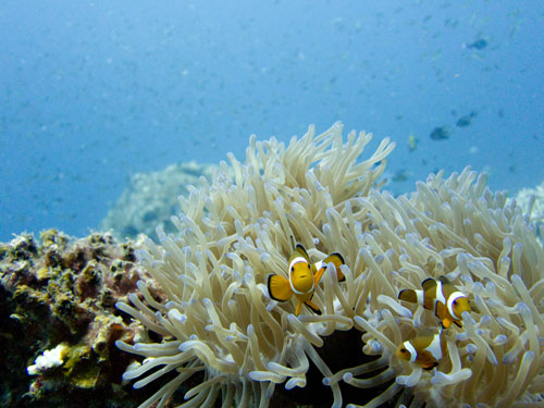 Nemo at Pulau Redang