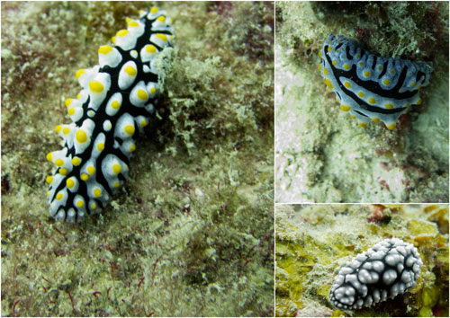nudibranches at Pulau Aur