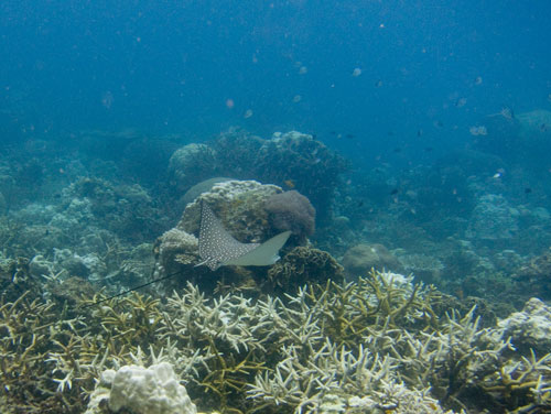 Eagle Ray at Redang island