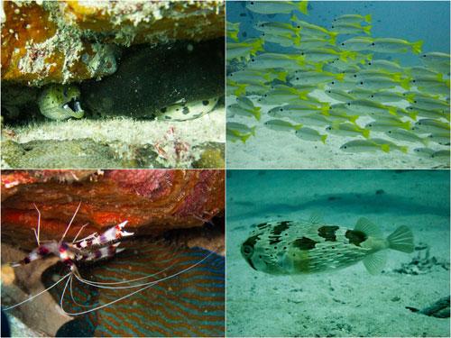 shrimp, ikan kembong, porcupine fish
