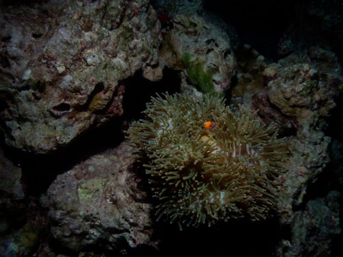 clown fish in anemone, night dive at Elephant Rock