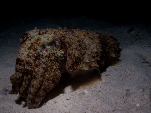 an unmoving cuttle fish, night dive at Elephant Rock