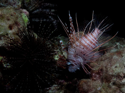 lion fish, night dive at Elephant Rock