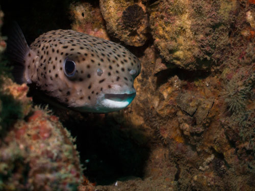 porcupine fish, Bon Soon wreck