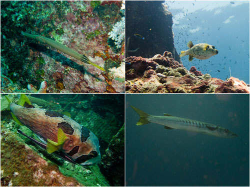 pipe fish, dog faced puffer, giant puffer, giant baraccuda