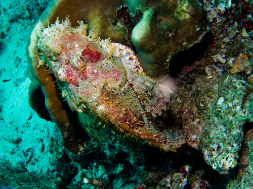 camouflage exposed by strobe, a scorpion fish