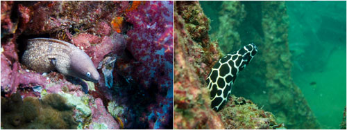 moray eel, honeycomb moray eel