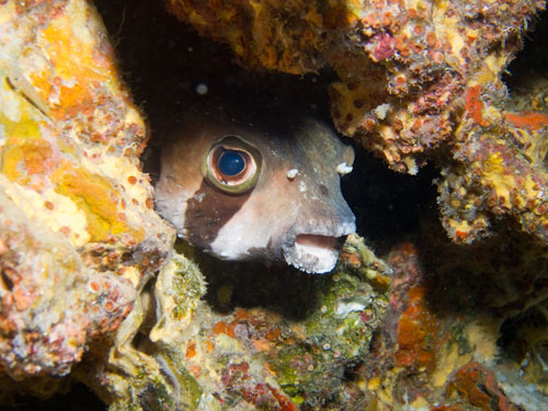 puffer fish hiding in a small cave