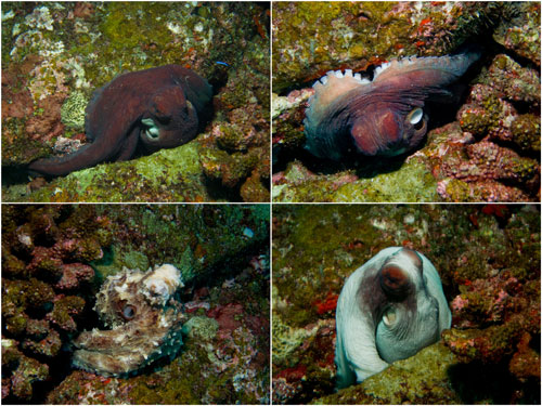 all these photos are of the same octopus!