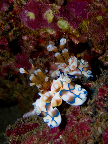 a pair of fancy harlequin shrimps
