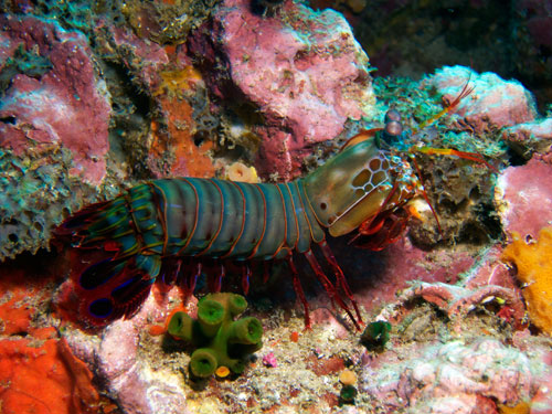 mantis shrimp, shot at Similan Islands