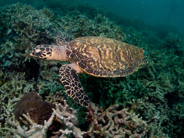 hawksbill turtle has had enough with divers