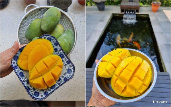 Harum Manis Mango from Perlis